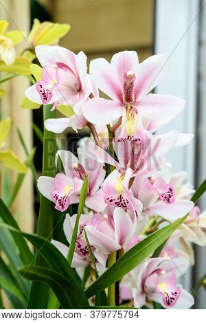 White And Vivid Pink Phalaenopsis Orchid Flowers In Full Bloom In A Garden Pot By The Window In A Su