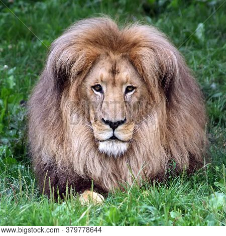 Lion Head With A Luxurious Mane. Portrait Of A Lion On A Background Of Green Grass. Lion Close-up. L