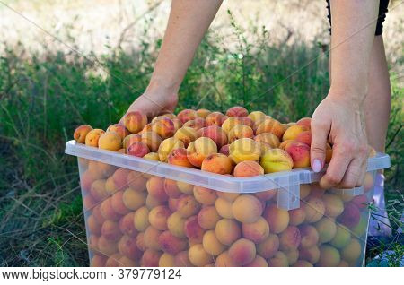 Woman Moves Freshly Assembled Ripe Red-yellow Apricots In The Plastic Crate In The Garden Closeup. D