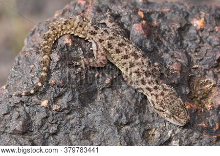 Photo Of Gecko Basking On A Lateritic Rock