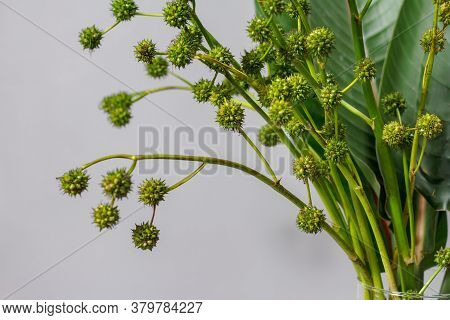 Green Strelitzia Leaves And European Bur Reed Or Sparganium Emersum In Glass Vase On Gray Background