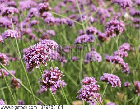 Close-up Of Purple Verbena Flowers. Selective Focus, Blurred Background.