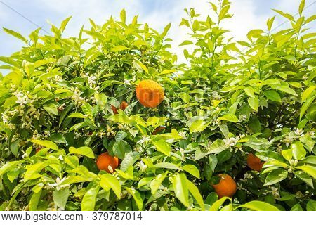 Rippen Tangerines Hanging On Beautiful Green Tangerine Tree With White Flowers On Blue Partially Clo
