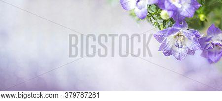Campanula, Bellflower Patula, Flowers. Summer Floral Concept. Banner.