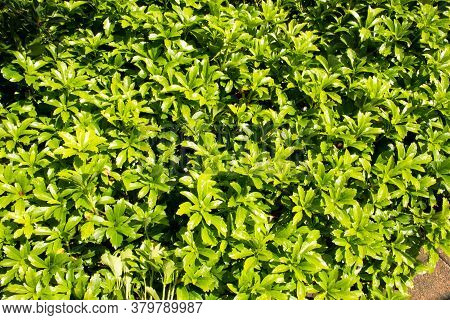 Japanese Spurge Is A Species Of The Boxwood Family. It Originally Comes From The Forests Of Japan An