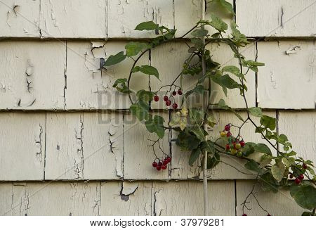 Vine And Cracked Paint