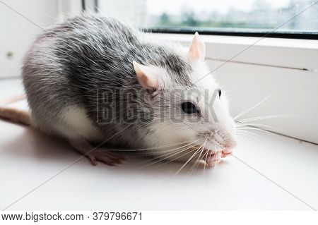 A Tame Gray-and-white Rat Sits On A White Windowsill