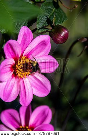 A Bee Drinking Nectar From African Daisy Flower.    Vancouver Bc Canada