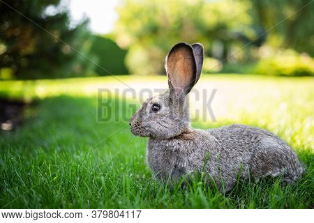 Large Adult Gray Hare With Long Ears In Full Growth On Green Grass On Sunny Day. Close Up Of Cute Gr