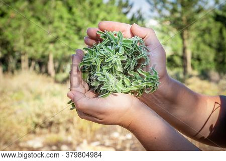 A Woman Holding A Bouquet Of Raw Sage In Her Hands. Wild Sage Herb Bunch. Aromatic Sage Plant On Nat