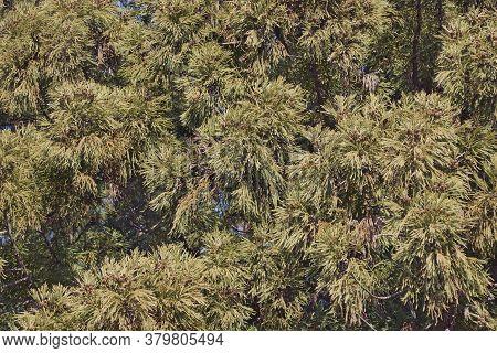 Japanese Cedar Tree With Cones