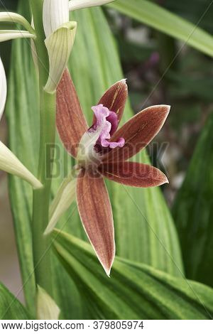 Close-up Image Of Greater Swamp-orchid Flower
