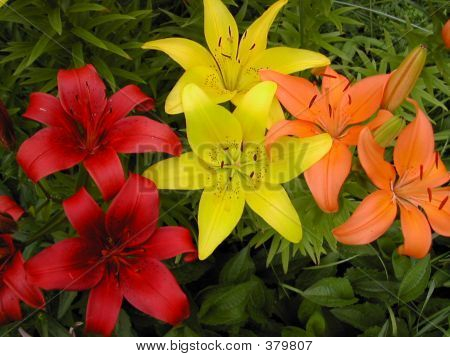 Colorful Asiatic Lilies