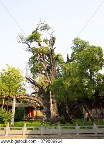 The 4,500 Years Old General Cypress Tree At Shaolin Temple. Famous Tree In The Tang Dynasty Era. Den