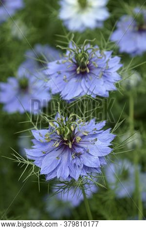 Love-in-a-mist (nigella Damascena). Called Ragged Lady And Devil In The Bush Also