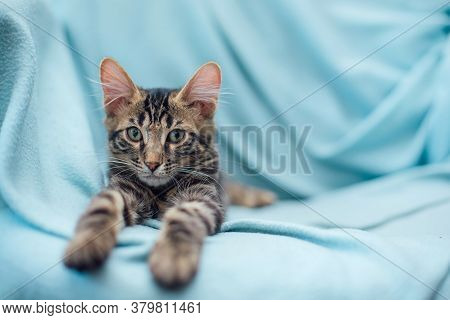 Little Charcoal Bengal Cat Laying On The Blue Background.