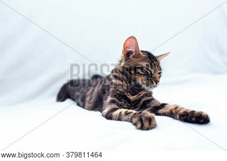 Little Charcoal Bengal Kitty Laying On The White Background.