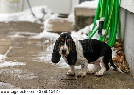 Cute Puppy Basset Hound With Long Floppy Ears