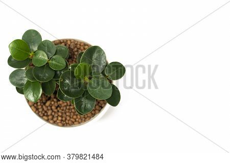 Top View Of Bonsai Ficus Annulata Or Banyan Tree On White Pot. Put On Isolated Whtie Background.
