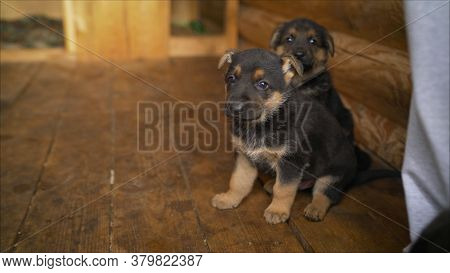 German Shepherd Puppy Sits In A Cage. Puppy German Shepherd, Long Tongue Sitting In Stall, Select Fo