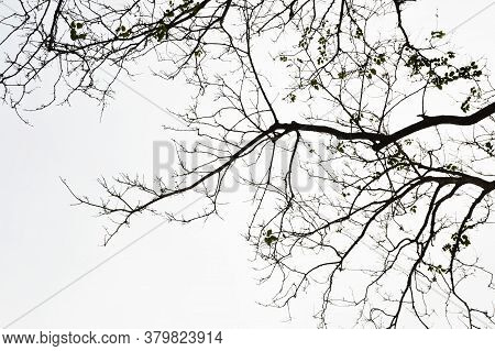 Tree Branches Silhouette On White For Background