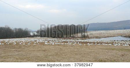 Snow Geese Vista