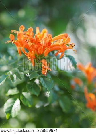 Pyrostegia Venusta, Bignoniaceae, Orange Trumpet, Flame Flower, Fire-cracker Vine Orange Flower Bloo