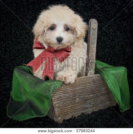 Christmas Malti-poo Puppy