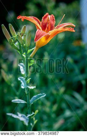 Closeup Of An Orange Hemerocallis Blooming In The Garden