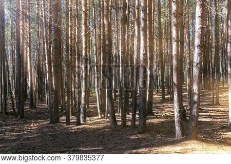 Pine Forest Early Morning With Sun Rays. Summer Sunrise. Rays Of Sun Penetrate Through The Crowns Of