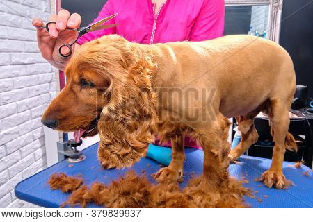 Female Groomer Haircut Cocker Spaniel On The Table For Grooming In The Beauty Salon For Dogs. Groomi