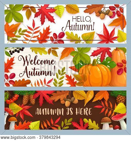 Hello Autumn Vector Banners With Falling Leaves, Pumpkin And Fall Foliage. Mushrooms, Pine Cones, Ma