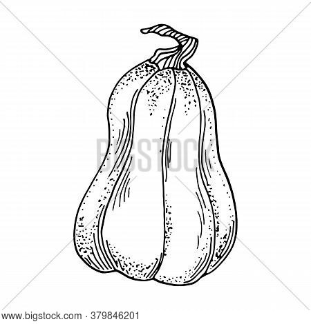 Vector Pumpkin Illustration. Hand Drawn Gourd Contour Isolated On White Background. Vintage Butternu