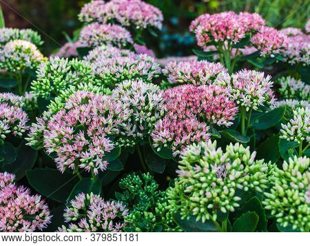 Buds And Flowers Of Sedum Close-up In An Ornamental Garden