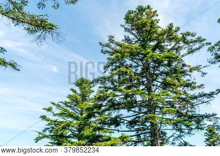 Conifer Tree Tops In Summer Sunshine In Front Of Blue Sky With Little Clouds