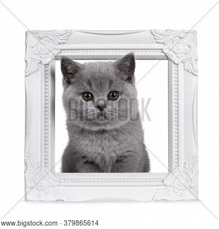 Cute Blue British Shorthair Kitten, Sitting With Head Through White Photo Frame. Looking At Camera W