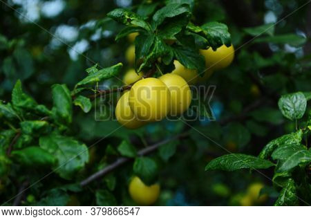 Fruits Of Cherry-plum On Tree. Ripe Gifts Of Nature. Fruits Of Yellow Plum On Tree Branch In Summer