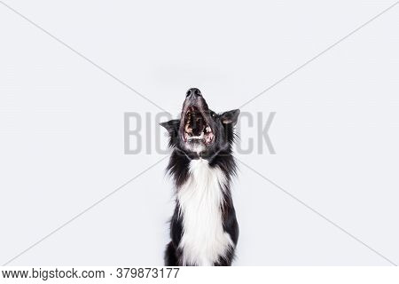 Happy Surprised Purebred Border Collie Dog Looking Up With His Mouth Opened Mouth And Big Eyes Looki