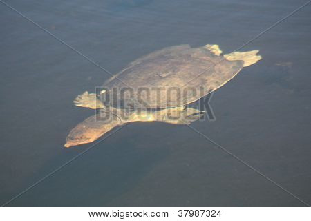 a picture of a swimming soft shell turtle poster