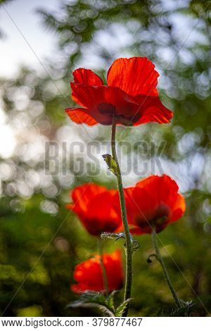 Red Poppies. Buds Of Wildflowers And Garden Flowers. Red Poppy Blossoms. Field Of Poppies. Backgroun