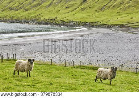 Sheeps Grazing On Faroe Islands Coastline. Green Scenic Landscape. Horizontal