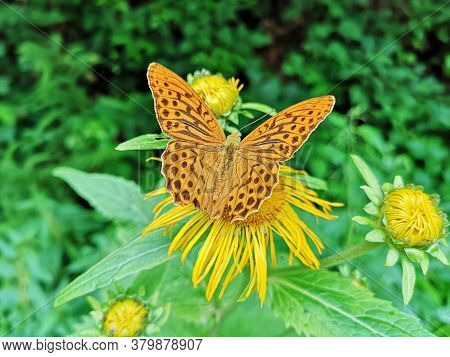 Butterflies On Yellow Flowers In The Forest. Yellow Oxeye Flowers In The Forest Telekia Speciosa  Sc