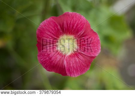 Beautiful Single Pink Red Hollyhock Flower Against Soft Background With Copy Space