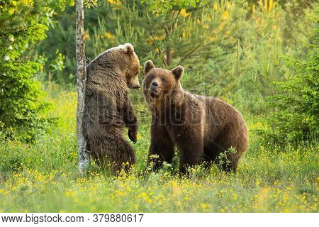 Two Brown Bears Courting On A Blooming Glade With Flowers In Summer Nature.