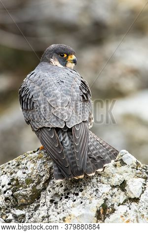 Majestic Peregrine Falcon Standing On Rock In Spring.