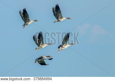 Flock Of Greylaggeeseflight (anser Anser) wildlife Scene