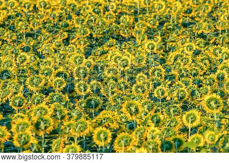 Field Of Blooming Sunflowers, Sunflowers Field Agriculture