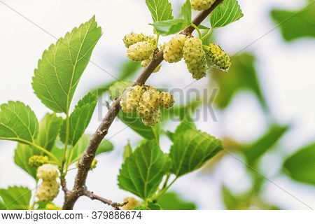 White Mulberry On The Branch