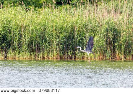 Gray Heron Flying (ardea Cinerea) Wildlife In Natural Habitat.