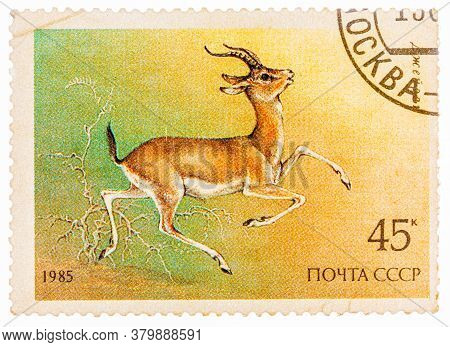 Russia - Circa 1985: Stamp Printed By Russia, Shows Goitered Gazelle, Circa 1985